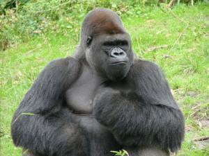 barry-bonds-gorilla-1577293-640x480