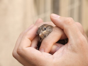 little-sparrow-in-helping-hands-1309956-640x480